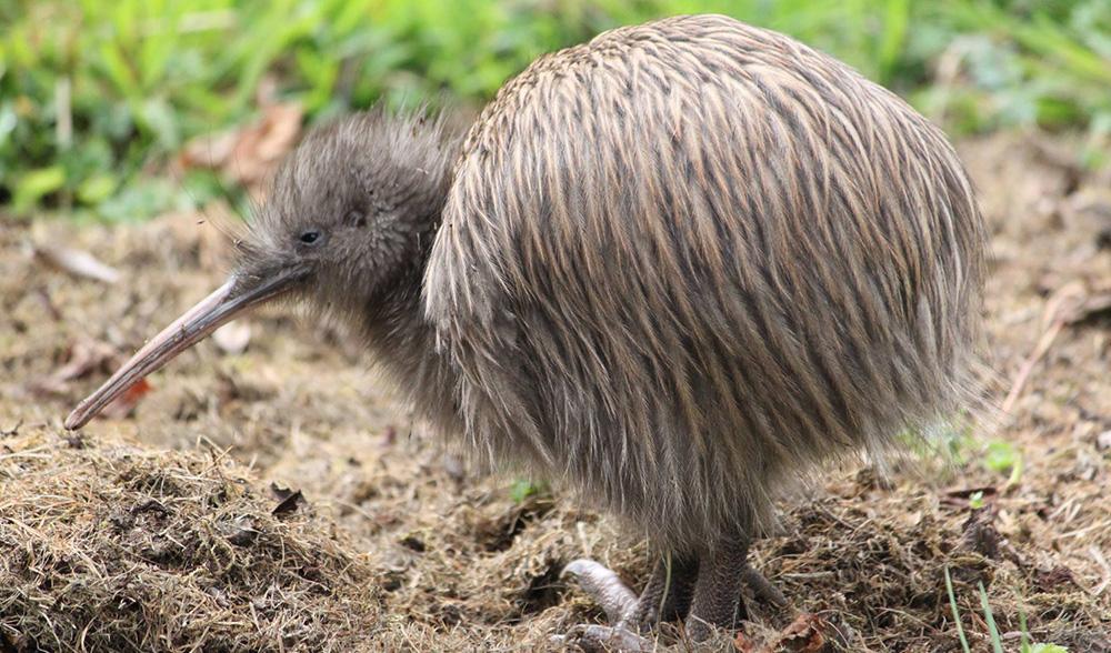 kiwis for kiwi protegeons le kiwi nouvelle zelande