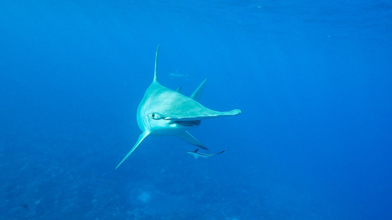 requin marteau tore tore