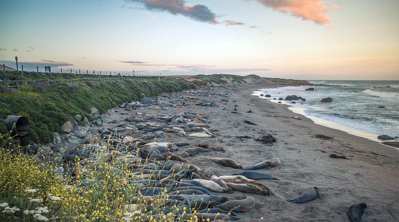 cote ouest californie lions de mer